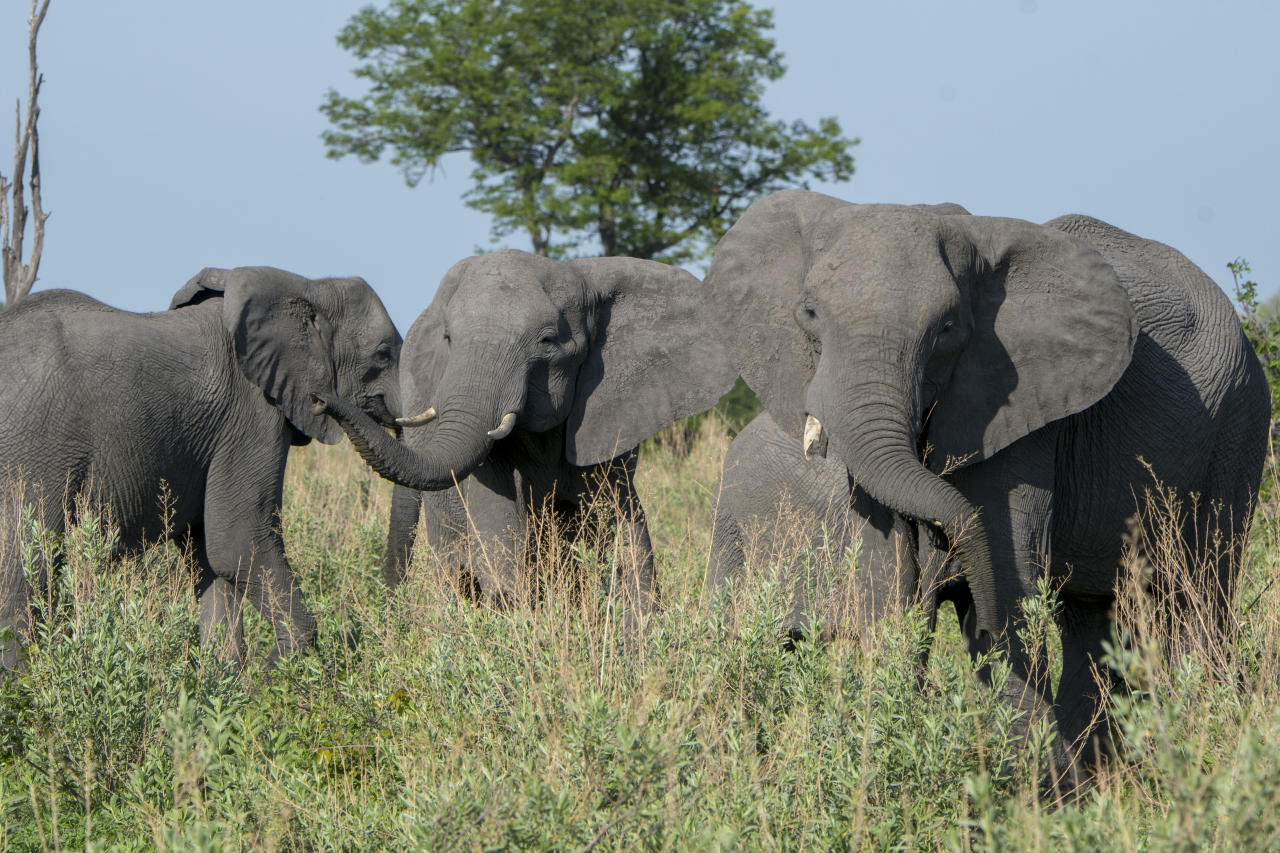 The African elephants are the largest land animals on Earth.