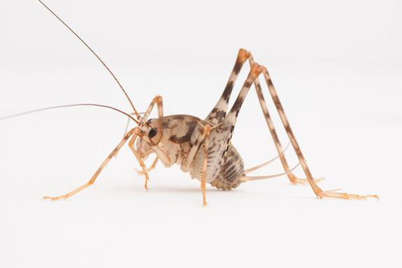 Invasive Camel Crickets Widespread in US Homes