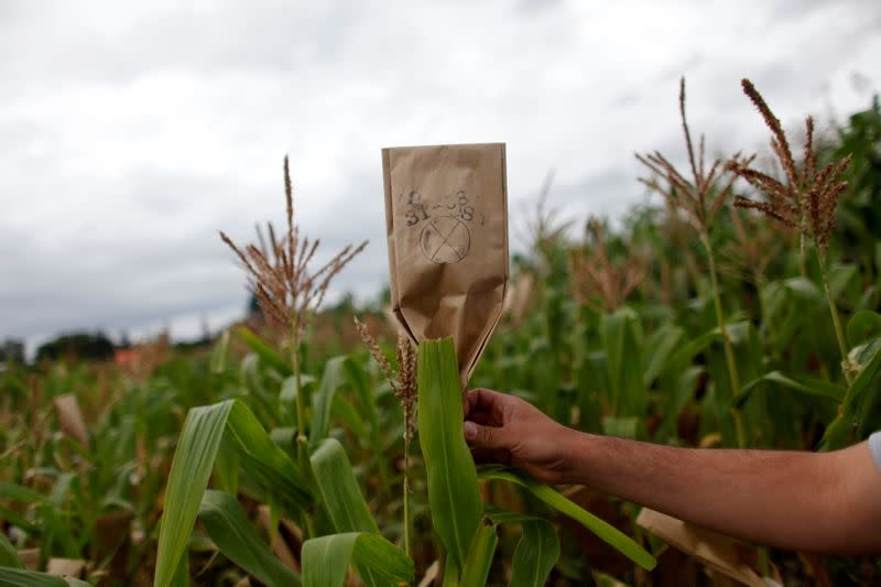FILE PHOTO: A scientist puts up a mark in a maize field at the International Maize and Wheat Improvement Center (CIMMYT)