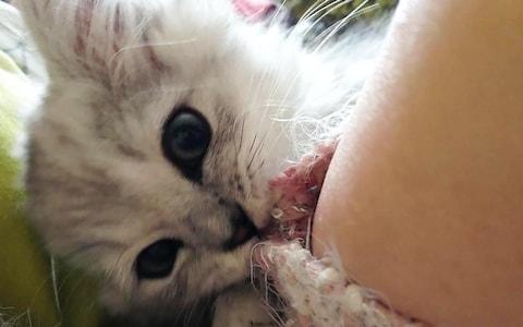 This kitten, Storm, was found headless in Staines - but a police review concluded that foxes often remove the heads of their prey - Credit: WESSEX NEWS AGENCY