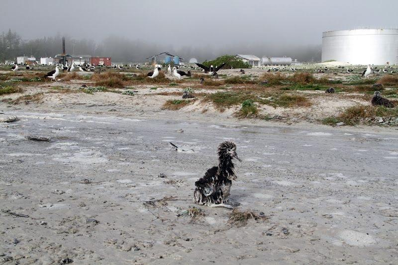 In this photo taken Saturday, March 12, 2011 and provided by the US Fish and Wildlife Service, a Laysan albatross chick that washed ashore is seen at  the Midway Atoll National Wildlife Refuge near the Hawaiian Islands. Federal wildlife officials say thousands of seabirds were killed when tsunamis generated by last weekís massive earthquake off Japan flooded Midway, a remote atoll northwest of the main Hawaiian islands. (AP Photo/ US Fish and Wildlife Service, Pete Leary)