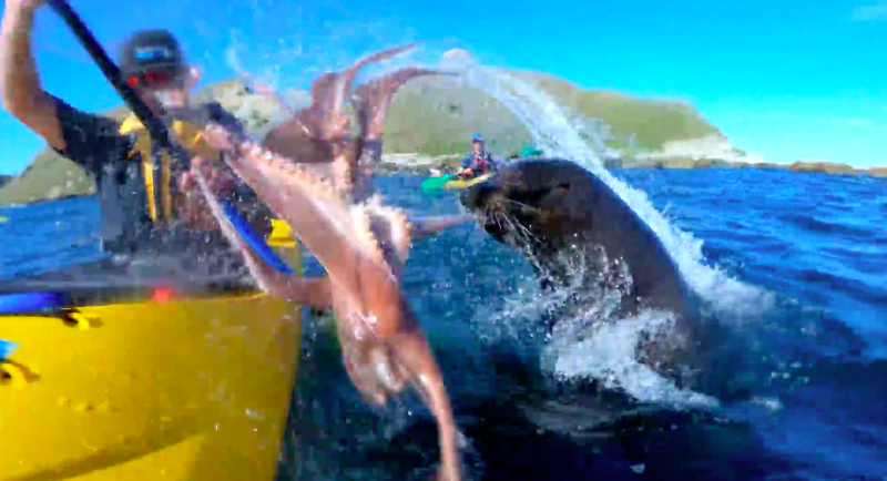 Seal slaps man in the face with an octopus