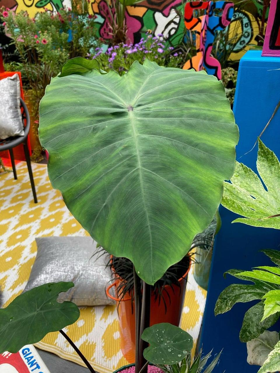 Tropical-looking alocasia in a pop art setting (Hannah Stephenson/PA)