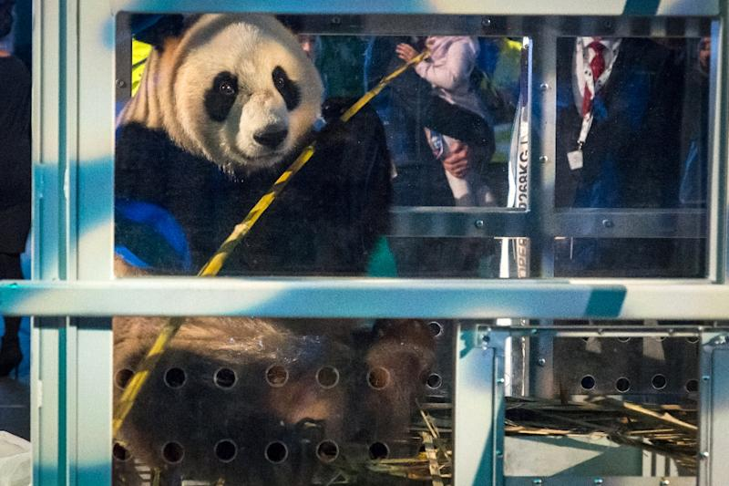 Xing Ya, one of the panda cubs, is introduced to the public at Schiphol airport