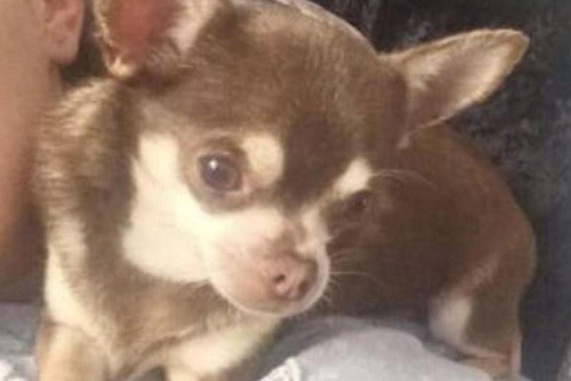 Gizmo, a four-year-old miniature chihuahua, went missing over the weekend.