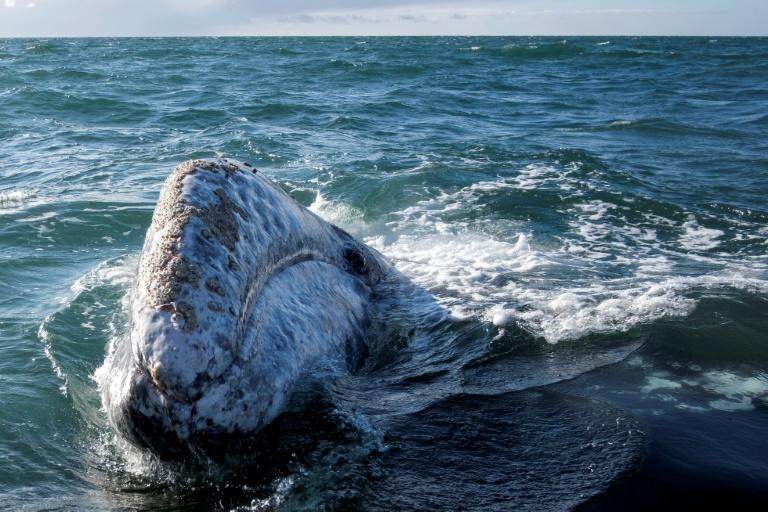 Conservationists say the eastern North Pacific is home to the only definitely surviving breeding population of gray whales