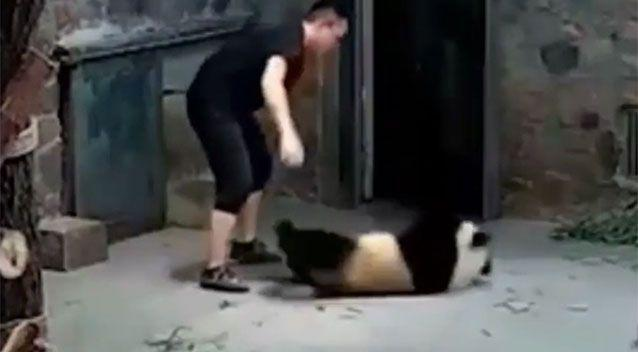 Handlers are shown dragging panda cubs across the floor. Source: Sina Weibo.