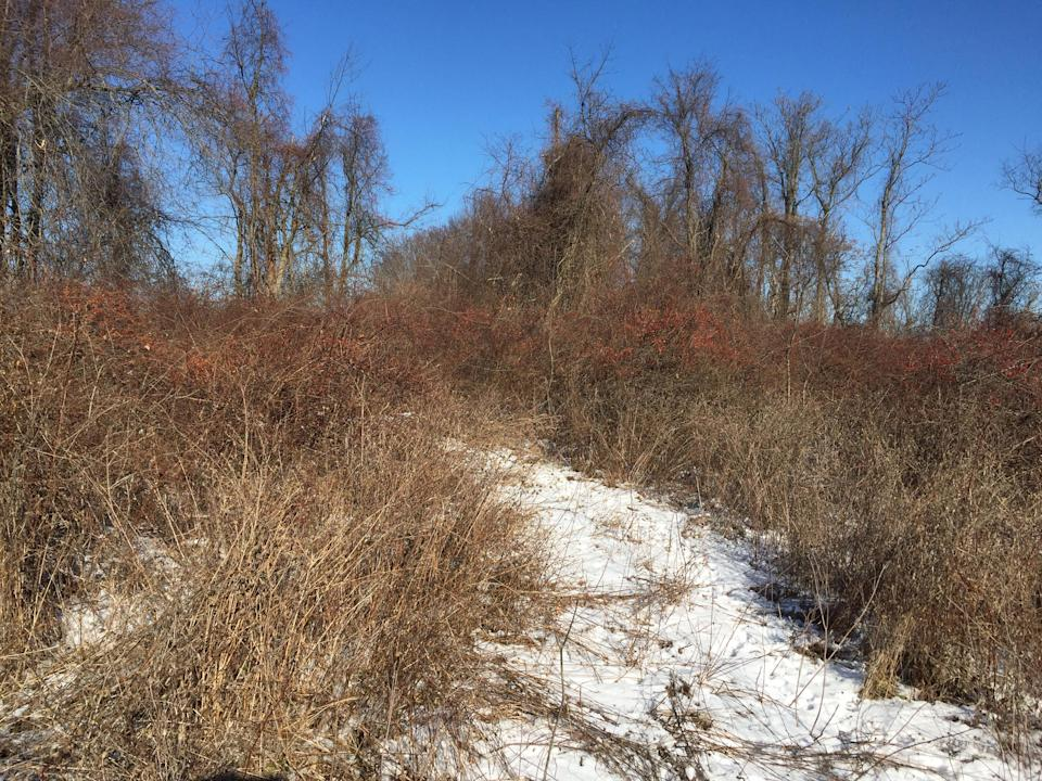 An old path in Donald J. Trump State Park's Indian Hill section is teeming with brambles and brushwood. (Photo: Michael Walsh/Yahoo News)