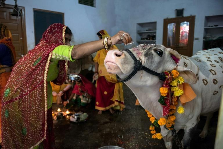 The Indian government plans to issue millions of cows with unique identification numbers linked to a national database to protect against cow smuggling