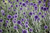 <p>These fantastical perennials bloom in the summer and are excellent pollinator choices for those living in USDA Hardiness Zones 3-9.</p>
