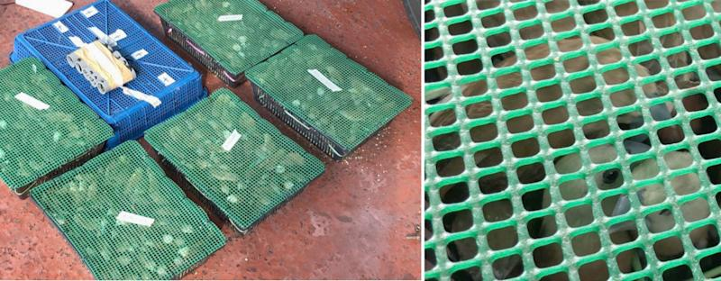 The smuggled birds were found in 15 containers hidden aboard a Malaysia-registered bus. (PHOTOS: ICA)