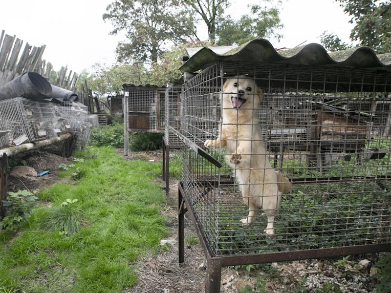 A dog is seen standing on its hind legs in the hope of escaping its cage: Open Cages
