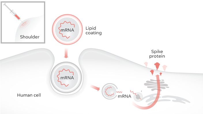 mRNA vaccines work by getting our cells to produce the spike protein free of any virus.