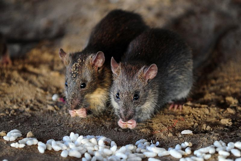 City officials say there is no scientifically accurate way to count the number of rats in New York, but SenesTech says four pairs of breeding adult rats and their progeny can produce up to 15 million rats in one year