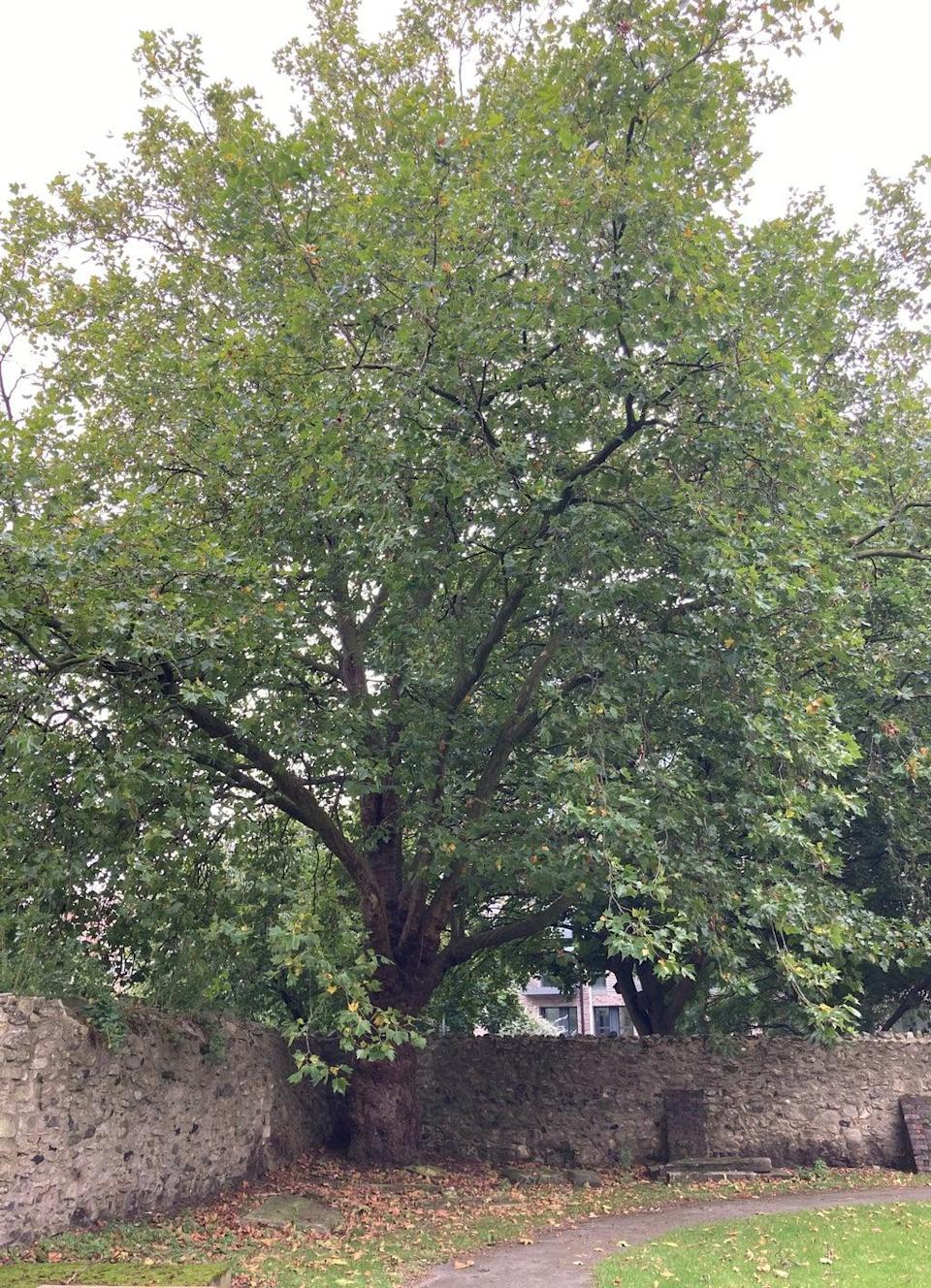 A large maple tree in a corner of the walled cemetery in St Margaret's churchyard in Barking, east London, where the bodies of Gabriel Kovari, 22, and Daniel Whitworth, 21, were found dead by the same dog walker three weeks apart in 2014. (Emily Pennink/PA) (PA Wire)
