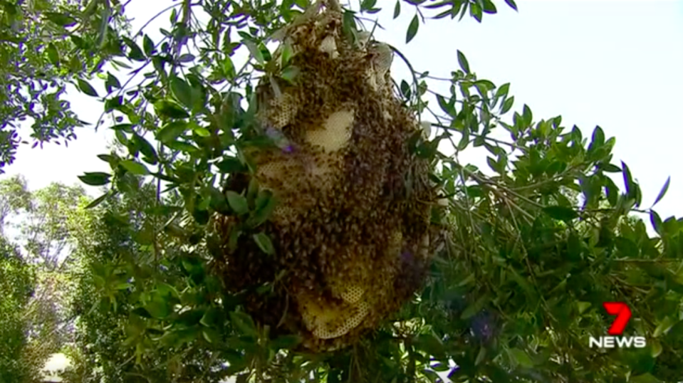 The giant hive contained 20kg of honey as well as being home to 40,000 bees. Source: 7News