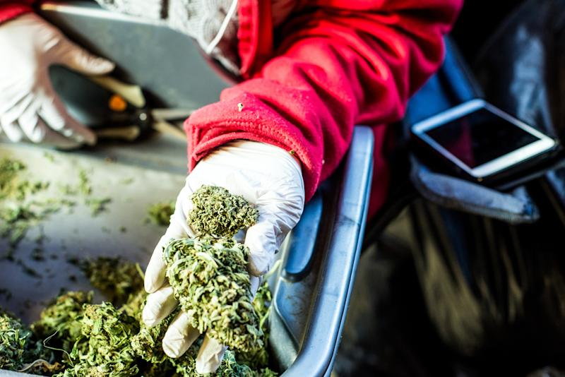 A gloved cannabis processor holding scissors in the right hand and a trimmed cannabis bud in their outstretched left hand.