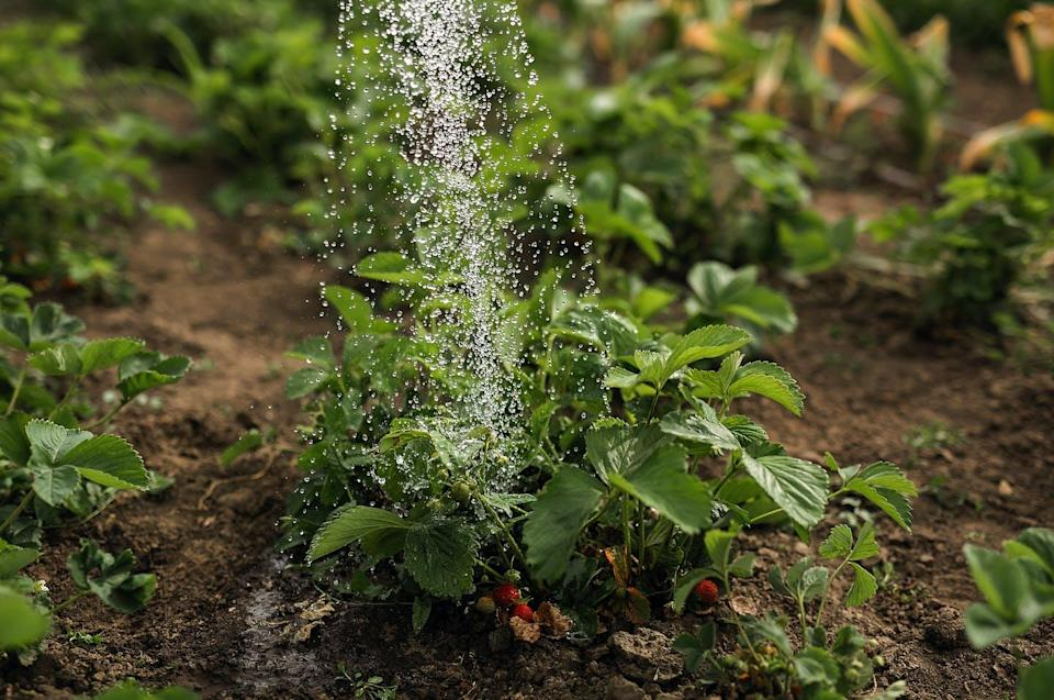 """<span class=""""attribution""""><a class=""""link rapid-noclick-resp"""" href=""""https://www.shutterstock.com/es/image-photo/water-watering-can-pours-over-strawberry-1776865853"""" rel=""""nofollow noopener"""" target=""""_blank"""" data-ylk=""""slk:Shutterstock / Savyolova Ekaterina"""">Shutterstock / Savyolova Ekaterina</a></span>"""