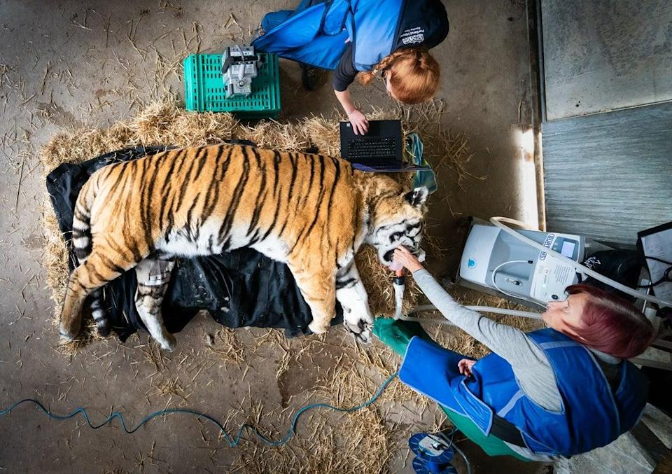 The tiger had an X-ray on his spine (Danny Lawson/PA) (PA Wire)