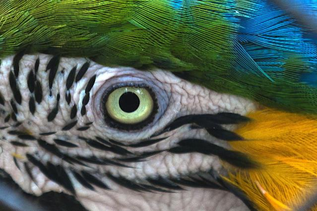An Arara parrot sits in an aviary at the city zoo in Rio de Janeiro, Brazil, Sunday, April 20, 2014. Temperatures in Rio de Janeiro reached 30 degrees Celsius (86 degrees Fahrenheit). (AP Photo/Hassan Ammar)
