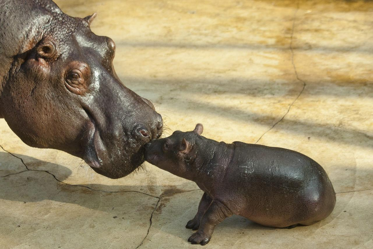 A hippo cub touches its mother Nicole during the first public presentation at the Zoo in Berlin, Tuesday, Nov. 1, 2011. The cub which is yet unnamed was born on Oct. 23, 2011 at the zoo. (AP Photo/Markus Schreiber)
