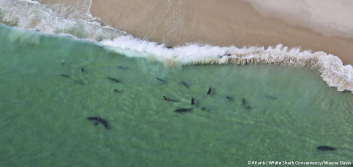 In this undated photo, sharks swim close to shore off Monomoy National Wildlife Refuge in Chatham, Mass. A prominent shark researcher says smaller, younger great white sharks are being spotted in greater numbers off Cape Cod. Massachusetts marine biologist Greg Skomal says the presence of juvenile sharks contributes to more human encounters because the young sharks swim closer to shore than their adult counterparts. (Wayne Davis/Atlantic White Shark Conservancy via AP)