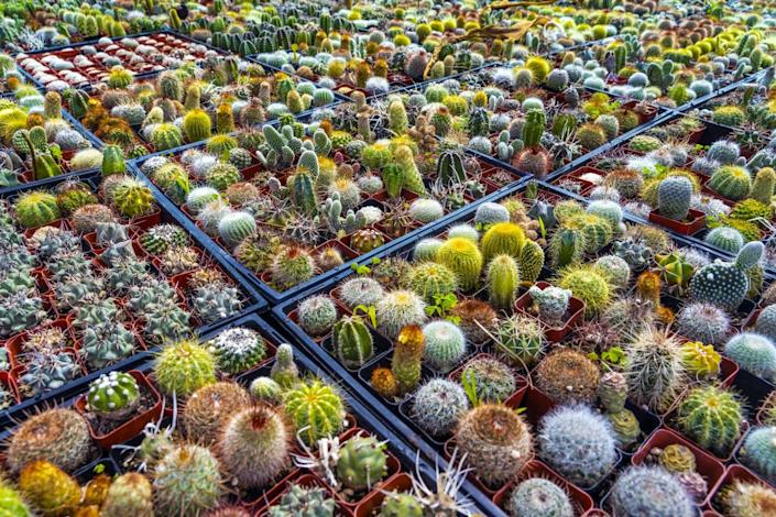 Pallets of cactus spread out side by side in squares.