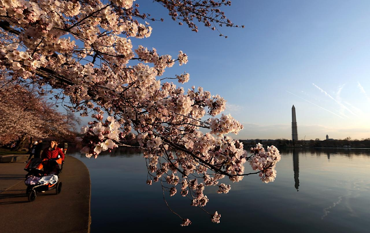 WASHINGTON, DC - APRIL 08:  Cherry blossoms bloom on the edge of the Tidal Basin after a colder than normal March and chilly April delayed the beginning of the cherry blossom season in the nation's capital April 8, 2013 in Washington, DC. Peak bloom was originally predicted between March 26 and March 30th, with the revised prediction moving to April 6-10.  (Photo by Win McNamee/Getty Images)