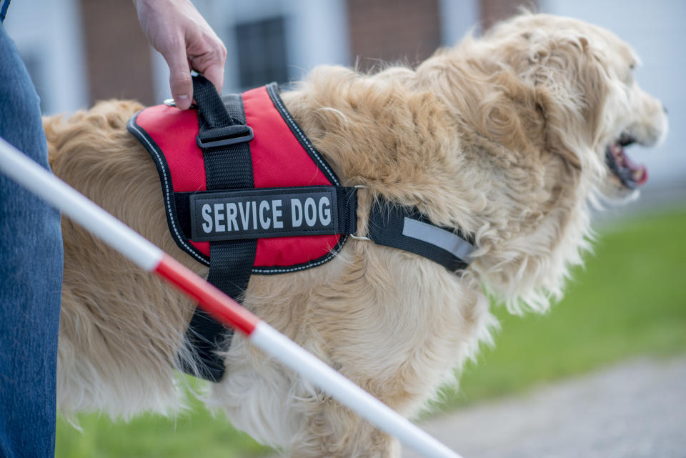 A blind person and their service dog are outdoors on a summer day. The dog is helping the blind person to walk.