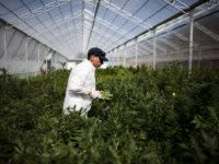 Cannabis regulation in Australia could be about to become way less complex — but an industry expert says the devil will be in the detail