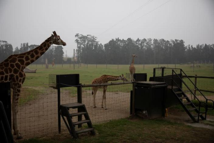 Giraffes are seen at the Mogo Zoo in Australia