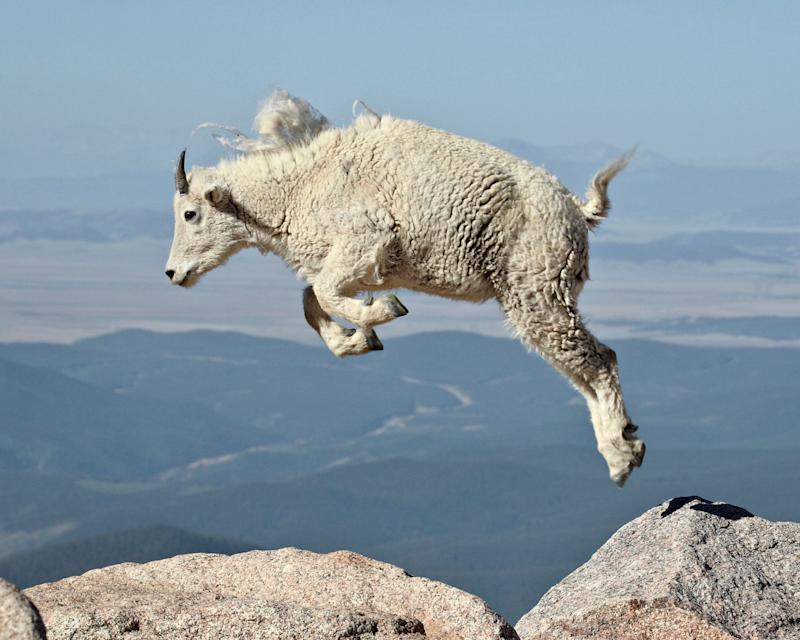 Mountain goat (Oreamnos americanus) yearling jumping, Mount Evans, Arapaho-Roosevelt National Forest, Colorado, United States of America, North America