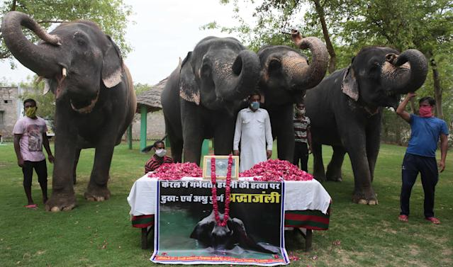 JAIPUR, INDIA - JUNE 4: A group of elephants raise their trunks in salute to the female elephant that was killed in Kerala, at Hathi Gaon on June 4, 2020 in Jaipur, India. The pregnant pachyderm died last week while standing in water after being fatally wounded by eating a firecracker laden pineapple. (Photo by Himanshu Vyas/Hindustan Times via Getty Images)