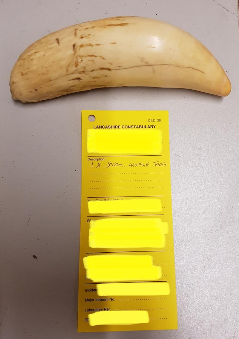 A sperm whale tooth, catalogued by Lancashire Police. (via PA)