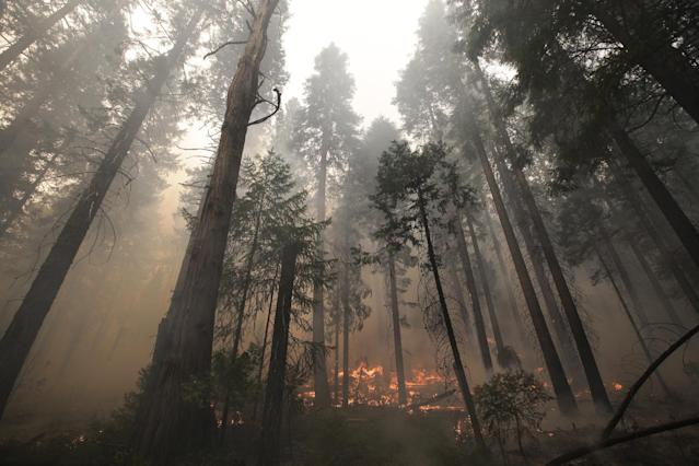 The Rim Fire burns through trees near Yosemite National Park, Calif., on Tuesday, Aug. 27, 2013. Firefighters gained some ground Tuesday against the huge wildfire burning forest lands in the western Sierra Nevada, including parts of Yosemite National Park. (AP Photo/Jae C. Hong)