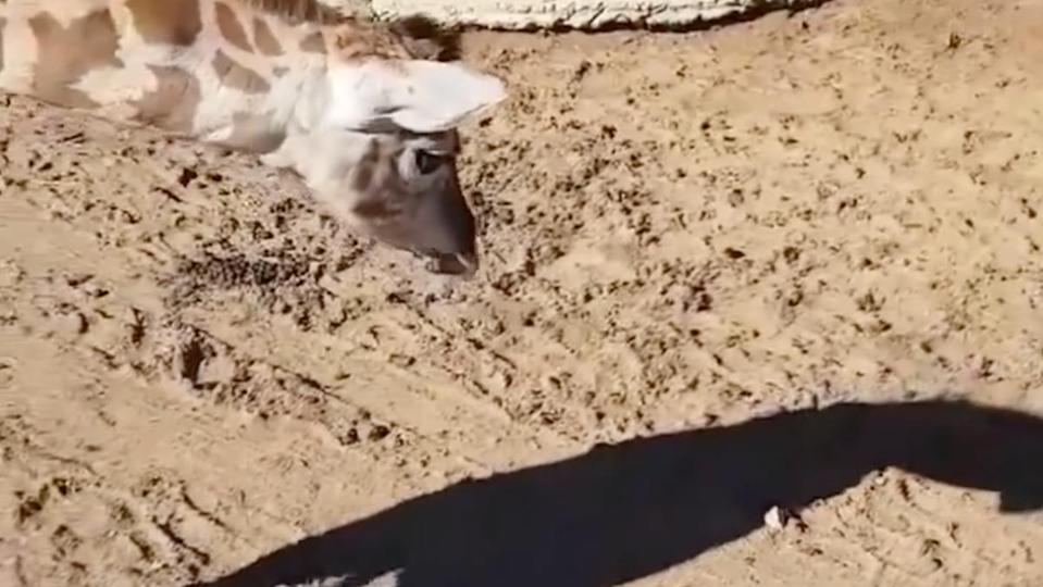 This video of a baby giraffe discovering its shadow, captured by a zookeeper in Australia, is just as adorable as it is goofy.