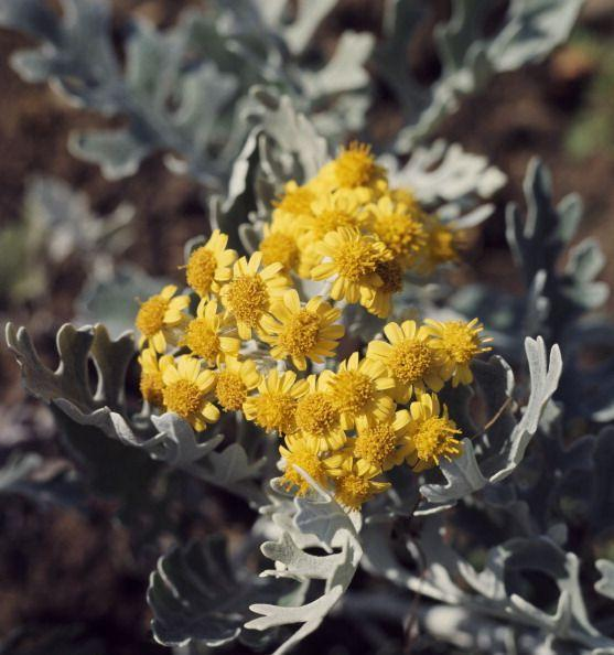 <p>Beloved for its silvery-sage foliage, dusty miller is another cold-hardy annual that can be planted in February in mild climates. (Although grown as an annual in most zones, dusty miller is a perennial that may return in USDA plant hardiness zones 8 through 10.) If cold weather threatens after planted, water soil surrounding plants thoroughly as wet soil will hold heat better than dry soil. </p>