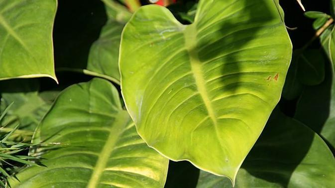 Philodendron Moonlight. (Sumber: Wikimedia Commons)