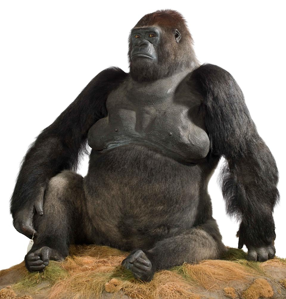 Guy the Gorilla – Guy was a western lowland gorilla who lived at London Zoo from 1946–1978. He was one of the most popular animals in the zoo's history and millions of visitors fell in love with his gentle nature. (Natural History Museum)
