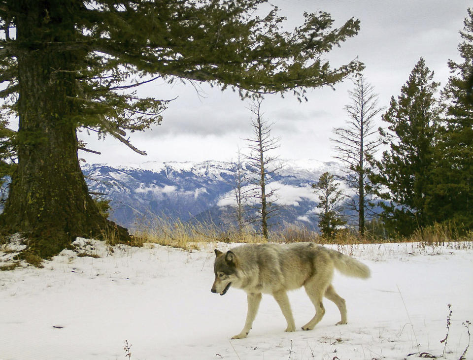 FILE -In this Dec. 4, 2014, file photo, released by the Oregon Department of Fish and Wildlife, a wolf from the Snake River Pack passes by a remote camera in eastern Wallowa County, Ore. Trump administration officials on Thursday, Oct. 29, 2020, stripped Endangered Species Act protections for gray wolves in most of the U.S., ending longstanding federal safeguards and putting states in charge of overseeing the predators. (Oregon Department of Fish and Wildlife via AP, File)