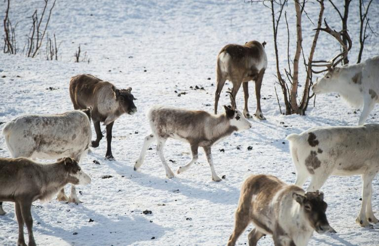 On the Finnmark plateau in northeastern Norway, where the herds spend the winter grazing after returning from their summer pastures, the number of reindeer has been capped at 148,800