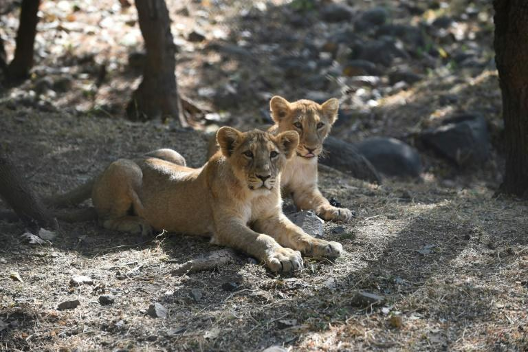 Hunting and human encroachment saw the Asiatic lion population plunge to just 20 by 1913