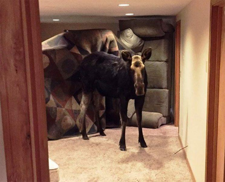 Idaho Fish and Game officers photographed this moose standing in a family's basement. From Facebook.