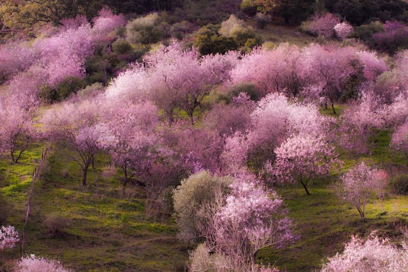 Almond blosson near the Spanish town - getty