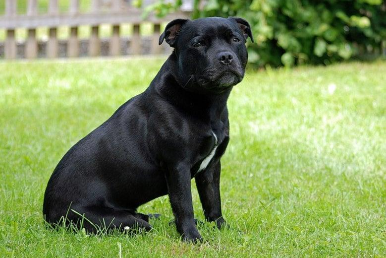 <p>The dog was described as looking like a black Staffordshire Bull Terrier</p>Wikimedia Commons