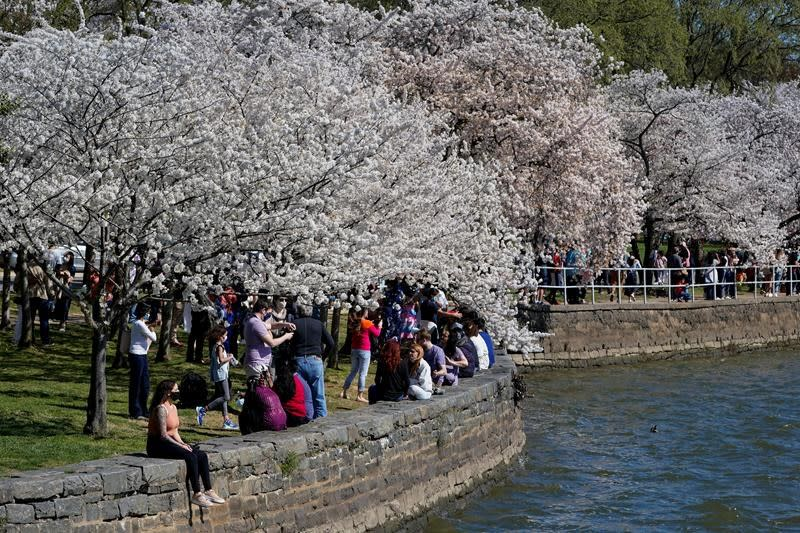It S Cherry Blossom Season But Dc Isn T Ready To Open Up