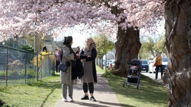 Crowds of people flock to a residential street in East Vancouver to enjoy the large cover of cherry blossoms over the Easter long weekend.