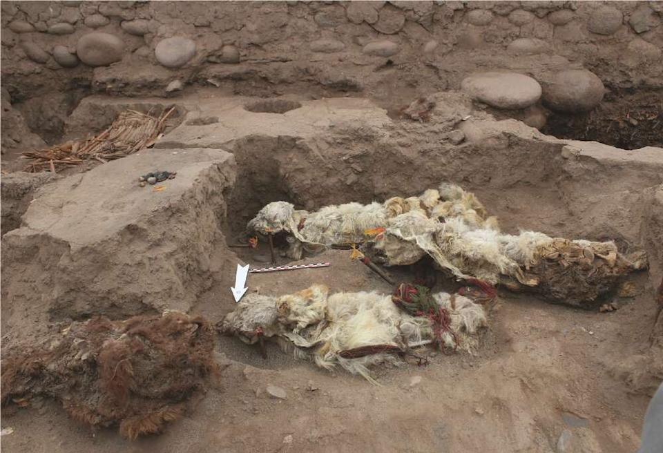 The mummified llamas discovered at Tambo ViejoAntiquity/Lidio Valdez