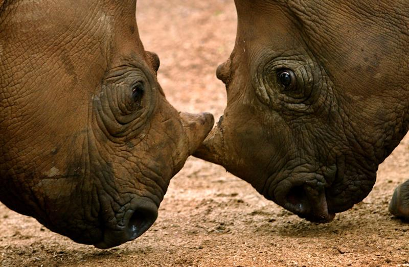 Expert: Rhinos extinct in Mozambique