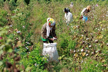 FILE PHOTO - Workers harvest cotton in a field on the outskirts of Ahmedabad